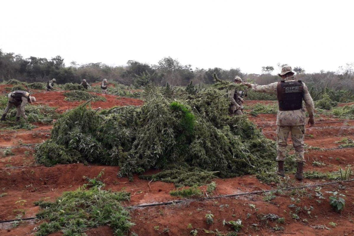 [Polícia localiza duas toneladas de maconha em um sítio no centro norte da Bahia]