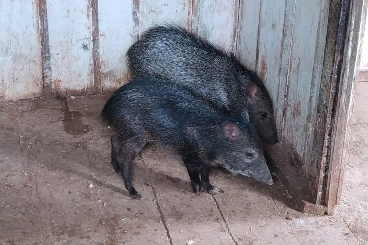 [Porcos do Mato e aves silvestres são resgatados de cativeiro]