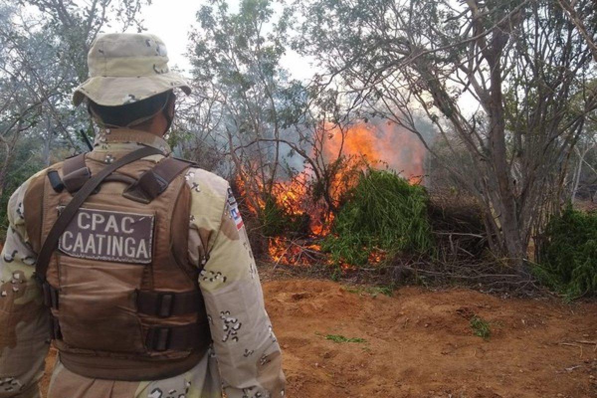 [Polícia realiza incineração de mais de 16 mil pés de maconha no norte da Bahia]