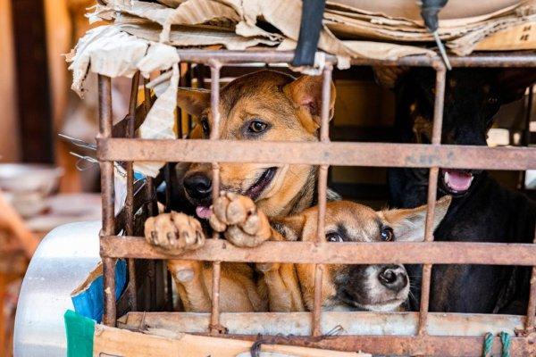 [Crise provocada pela pandemia gera aumento na venda de carne de cachorro na Indonésia]