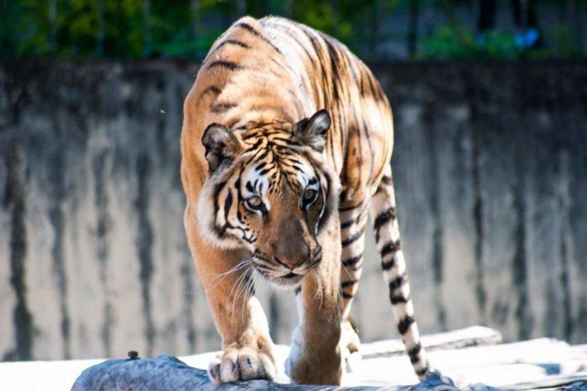 [População de tigres cresce mais de 30% na Índia]