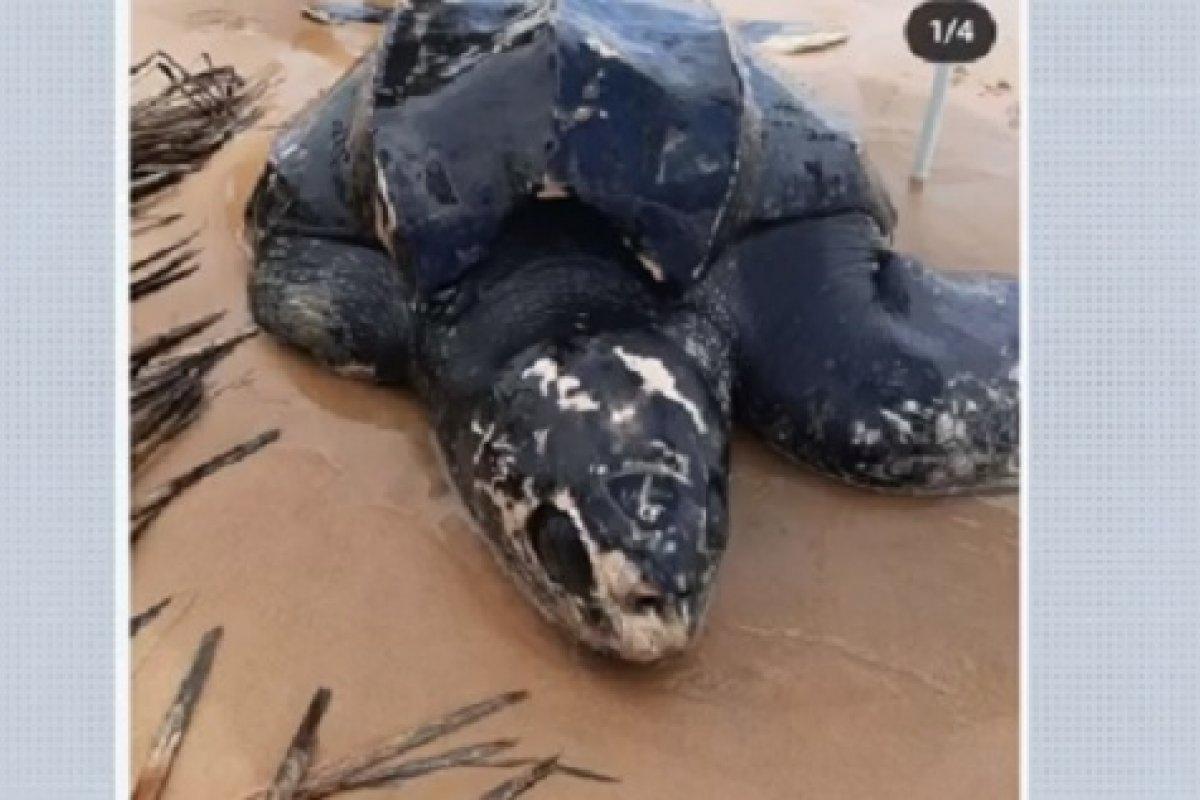 [Tartaruga gigante encontrada em praia no sul da Bahia volta a encalhar 3 dias após ser devolvida ao mar]