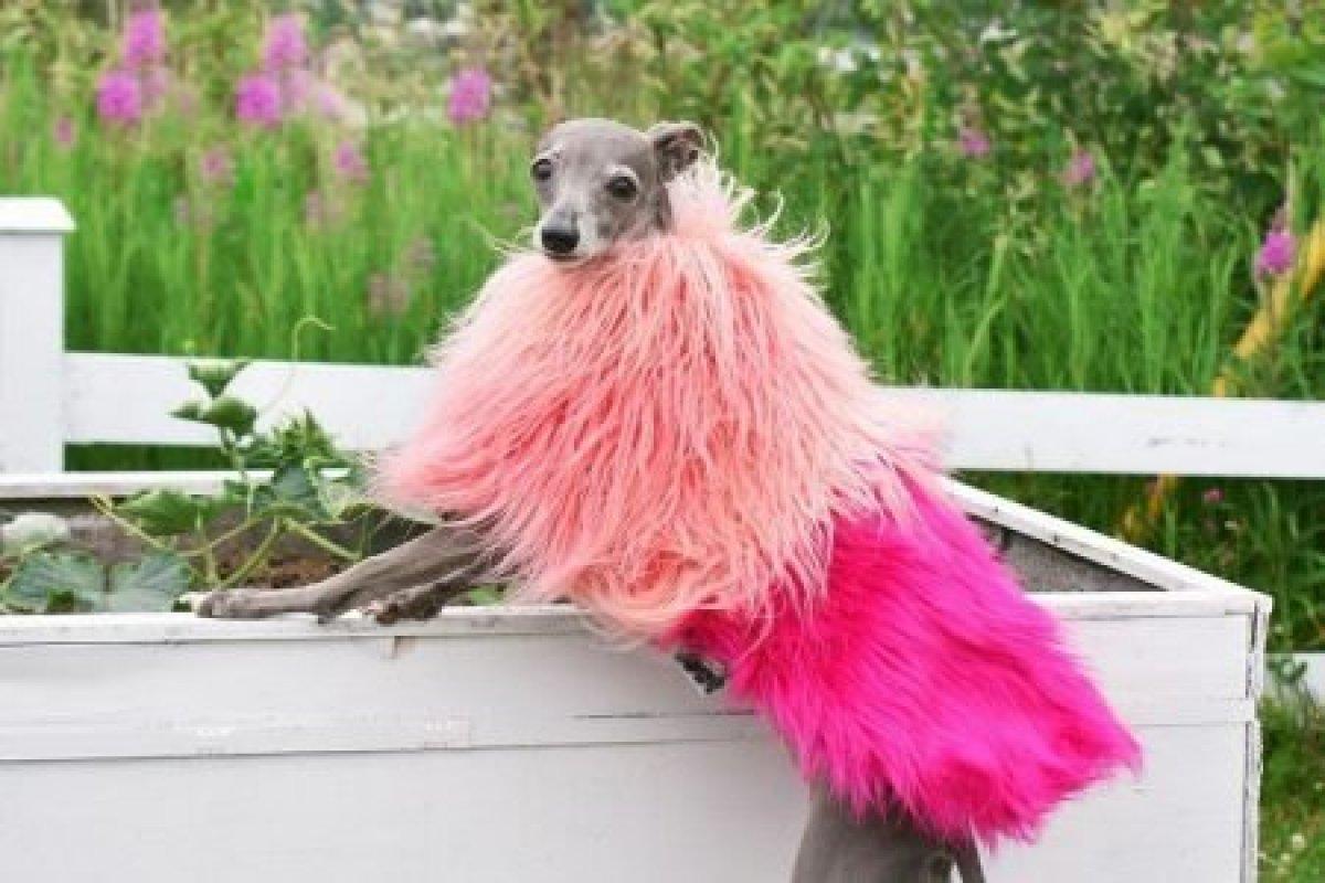 [Descrita como um ícone gay, cachorrinha faz sucesso na web com looks extravagantes]