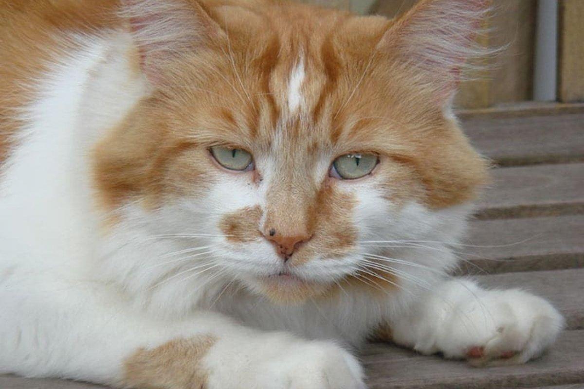 [Comportamento: como o envelhecimento afeta os gatos ]